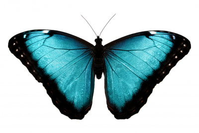 Family Morphinae Genus Morpho Specie peliedes Forewing Length 64-78 mm Range Mexico to Colombia and Venezuela. Host Plant Macharium, Pterocarpus, Lonchocarpus, Platymiscium, Dalbergia, Mucunapus, Platymiscium, Swartzia, Dalbergia, (Fabaceae). Pupa Stage Approximately 15-22 days. Pupa Description Pale green, ovoid, head slightly bifid, with a few golden spots onthe spiracles. Adults Description Distinguished from the similar M. granadensis by always having pupillate eyespots on the hindwing underside; has varying amounts of blue. Habits Description Occurs from sea level to 1,800 m, in association with all forest habitats. This is the commonest species in Central America, and its floppy, zigzag flight along rivers and forest edges and through coffee plantations is a familiar sight. The males patrol from early morning until midday, and females are usually active only during midday, when they are seen weaving in and out of vegetation. The scent hairs adjacent to the male claspers can be extruded with gentle pressure, and smell like vanilla. The female is generally larger, has a wider black margin, and has a circular plate terminating the last abdominal segment.